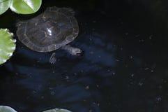 Murray Necked żółw zdjęcia royalty free