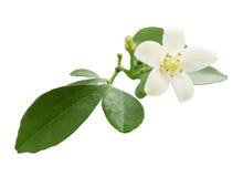 Murraya. White flower of the exotic Japanese emperor tree Murraya Stock Photography
