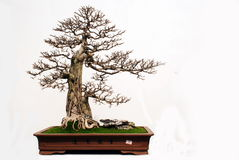 Murraya exofica Linn bonsai Royalty Free Stock Photography
