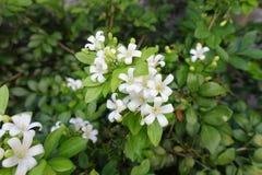 Murraya för vit blomma paniculata fotografering för bildbyråer