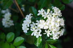 Murraya-Orangen-Jasmin Stockfotos