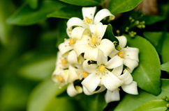 Murraya paniculata Royalty Free Stock Photo