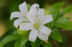 Murraya paniculata Stock Photo