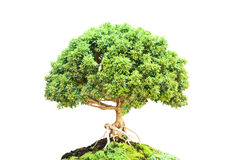 Murraya paniculata Bonsai Tree Royalty Free Stock Image
