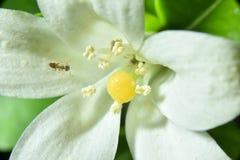 Murraya paniculata close-up photo macro