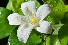 Murraya paniculata close-up photo macro and water drop