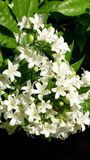 Murraya Paniculata en la plena floración fotografía de archivo libre de regalías
