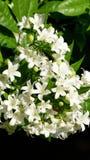Murraya Paniculata en pleine floraison Photographie stock libre de droits