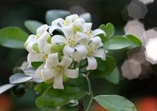 Murraya Paniculata Flower Stock Photo