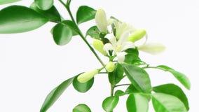 Murraya paniculata flowers blossom, time lapse