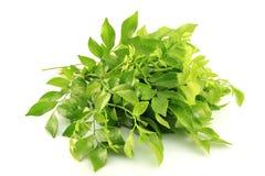Murraya paniculata (Linn.) Jack Royalty Free Stock Images