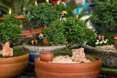 Murraya paniculata rośliny drzewo Obraz Stock