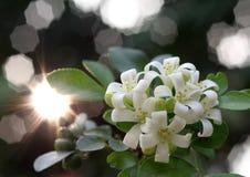 Murraya Paniculata Royalty Free Stock Photos