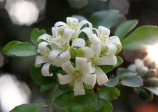 Murraya Paniculata White Stock Photography