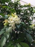 Murraya paniculata... White Small flowers Royalty Free Stock Photography