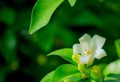 Murraya Piniculata или оранжевый жасмин, расти белых цветков вверх в саде дома стоковое изображение