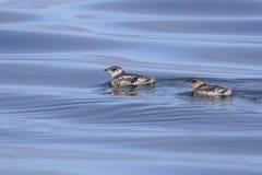 murrelet de dois kittlitzs que está flutuando na água em uma SU Foto de Stock