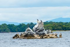 Murres on Rocks in Killarney National Park royalty free stock photos