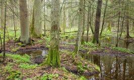 murshy springtime för skog Arkivfoto