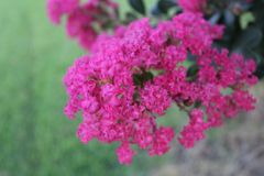 Murta de crepe cor-de-rosa Imagens de Stock Royalty Free