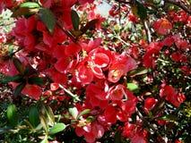Murta de crepe vermelha Fotos de Stock Royalty Free