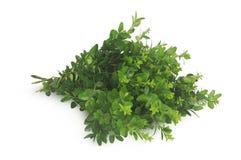 Murta verde isolada no fundo branco Foto de Stock