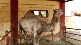 Musée de chameau au centre national de recherches sur le chameau, Bikaner banque de vidéos