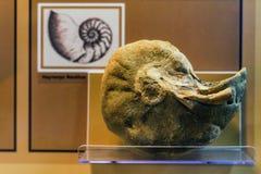 Musée de Ni exposé par coquille d'ammonite Image stock