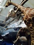 Musée des animaux d'histoire naturelle Image libre de droits