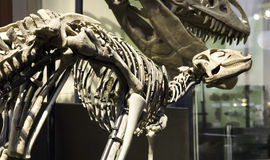 Musée paléontologique à Berlin Image libre de droits