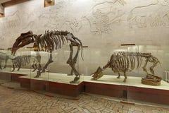 Musée paléontologique de Moscou photo libre de droits
