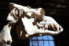 Musée squelettique animal Paris d'histoire naturelle Photos stock