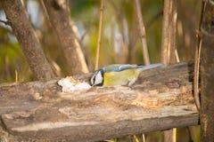 Mus blauwe mezen, Robin en mees op een tak van boom bij de trog Royalty-vrije Stock Fotografie