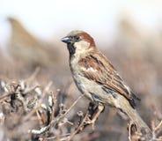 Mus in de dierkunde van de de vleugelwinter van het struikenwild Royalty-vrije Stock Fotografie
