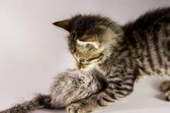 Mus för tigerkattungejakt Fotografering för Bildbyråer