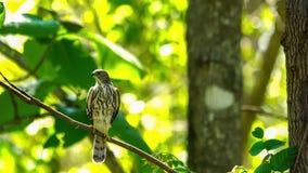Mus Hawk Bird die op tak van een boom neerstrijken stock video