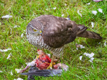 Mus Hawk Feeding royalty-vrije stock afbeelding