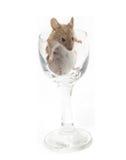 Mus i ett crystal exponeringsglas Arkivbilder