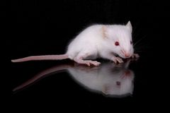 Mus musculus. A little white mouse with red eyes Royalty Free Stock Photo