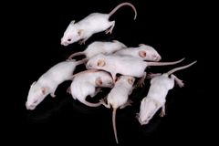 Mus musculus. Some small white mouses with red eyes Royalty Free Stock Images