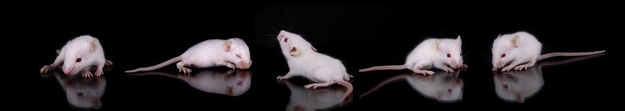 Mus musculus. Some mouses over a black background Royalty Free Stock Image