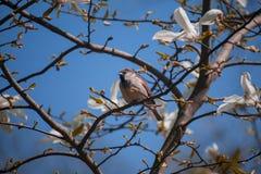 Mus op een magnolia royalty-vrije stock fotografie