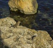 Mus op een steen Stock Afbeelding