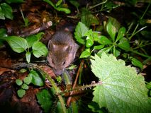 Mus som kryper ihop i skogsmarkgolvvegetation Royaltyfria Bilder