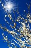 Mus, verbazende zon en bloeiende pruim door de lente. Royalty-vrije Stock Foto