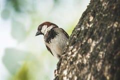 Mus wanneer de vogels terugkeren Passer domesticus vastgestelde vrij Royalty-vrije Stock Fotografie