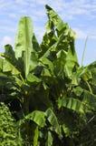 Musa Basjoo (banane japonaise) Photo stock