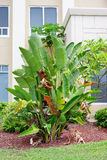 Musa basjoo, Japanese Banana tree Stock Image