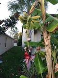 Musa basjoo, Japanese Banana tree Royalty Free Stock Images