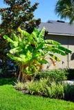 Musa basjoo, Japanese Banana tree. Taken in Tampa Florida Royalty Free Stock Photos